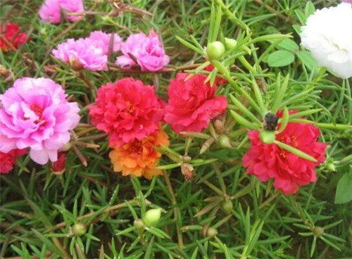 太阳花的花语是什么-太阳花怎么养合适