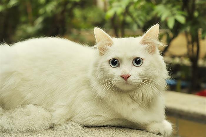 狮子猫   基本资料  英文名:persian  性 格:猫恬静可爱,温顺宜人