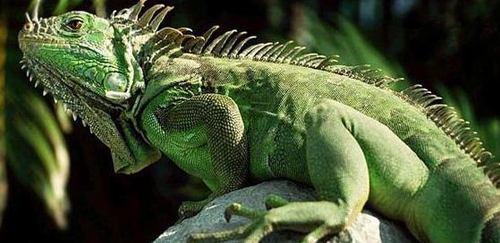 绿鬣蜥简介_绿鬣蜥价格_绿鬣蜥的寿命_绿鬣蜥的特征特点