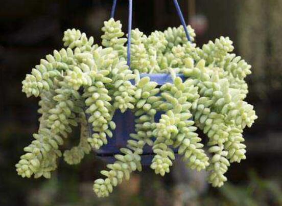 新玉缀叶子出现褶皱的原因和解决方法