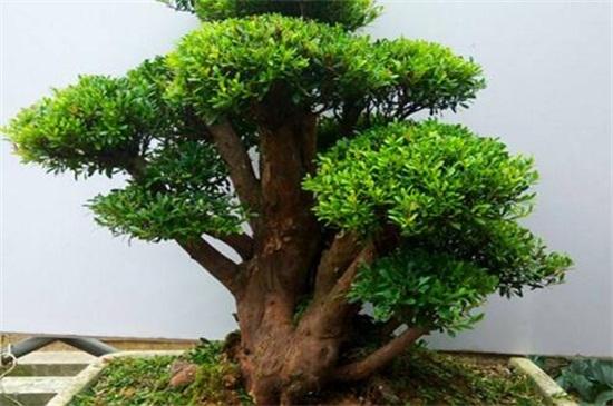 小叶赤楠的养护方法