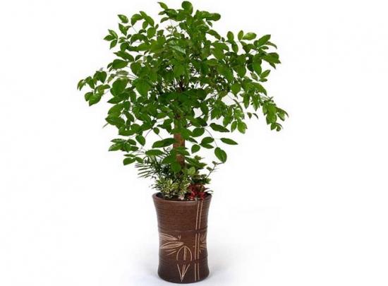 幸福树有毒吗?能否吸室内甲醛