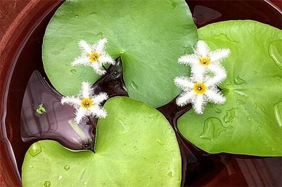 一叶莲的花语