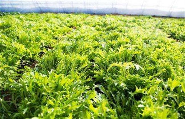茼蒿种植-茼蒿的种植技术与管理