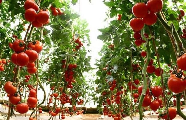 番茄的种植方法-西红柿的种植时间和方法