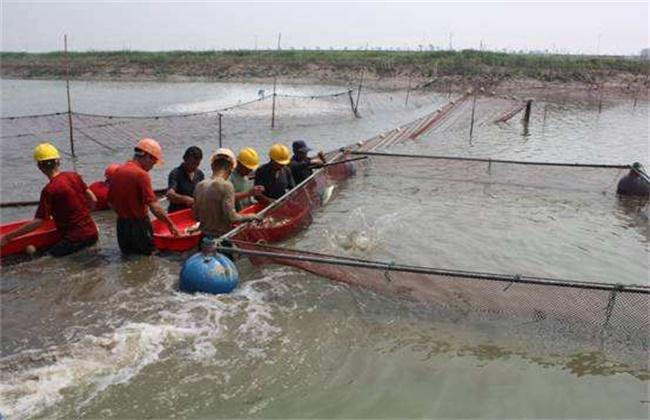 淡水鲈鱼养殖-培育、选鱼、催产、受精