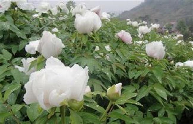白芍栽培-白芍的种植技术